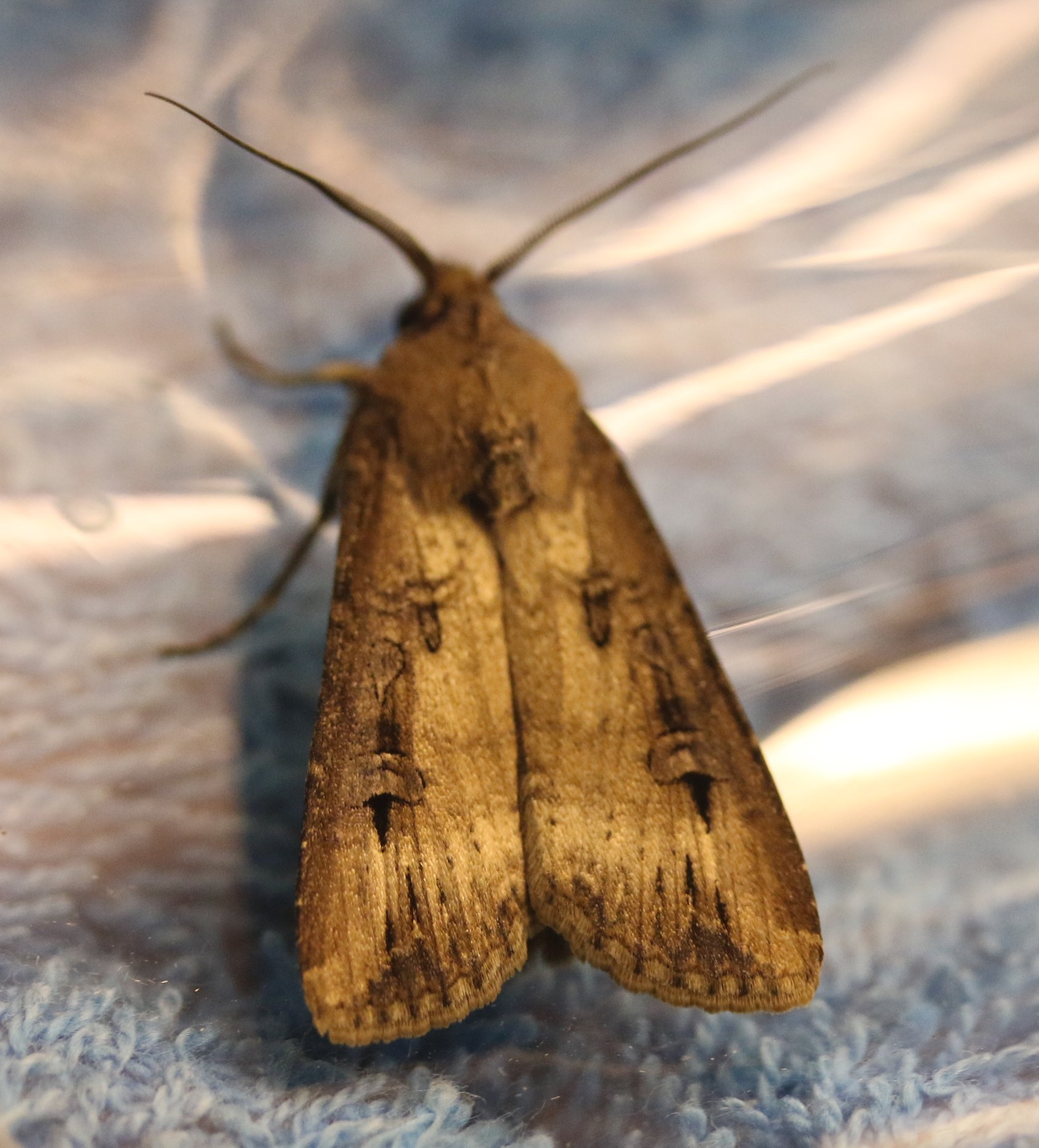 Agrotis ipsilon. Dark Sword-grass.