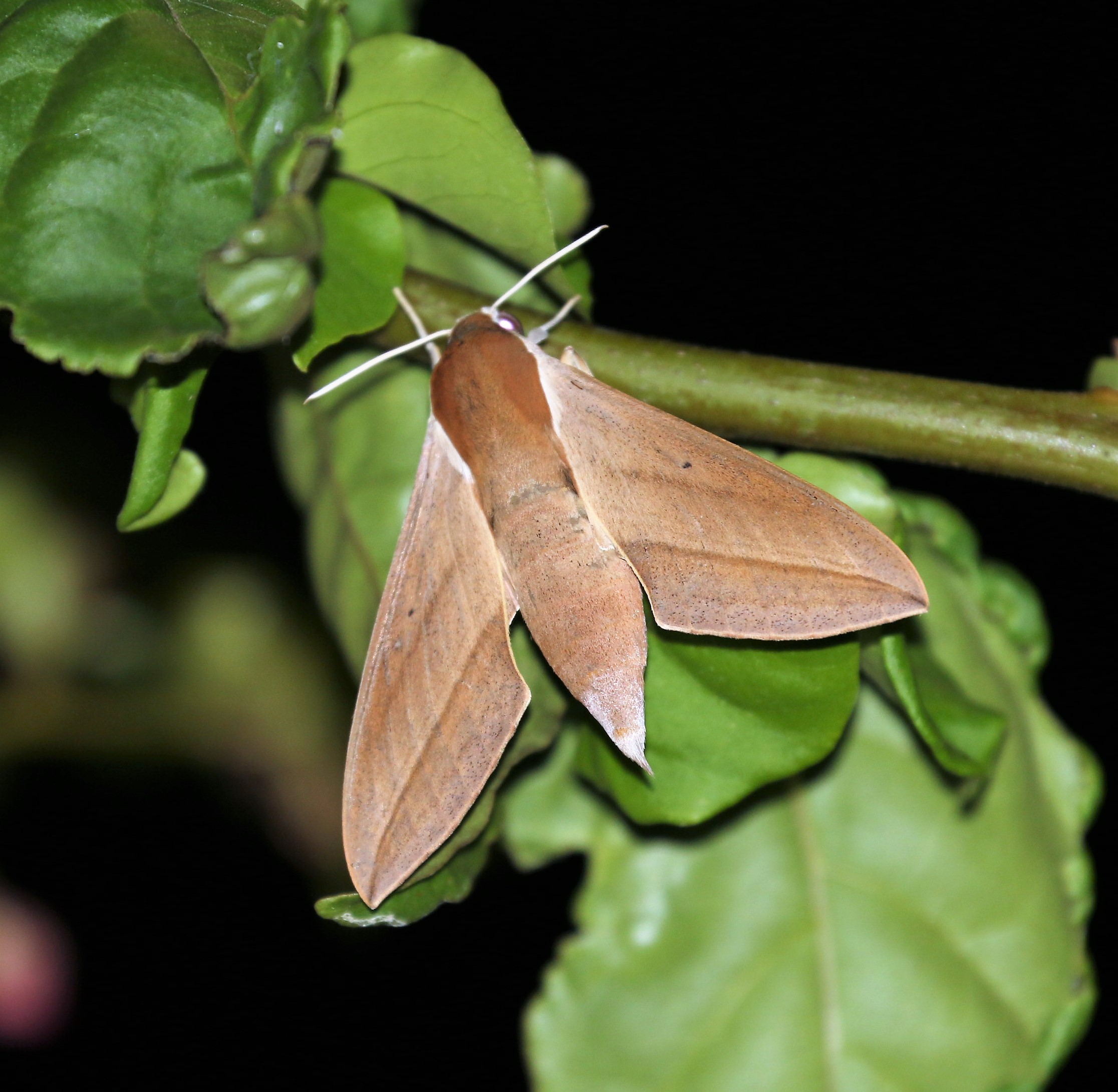 Theretra alecto. Levant Hawkmoth