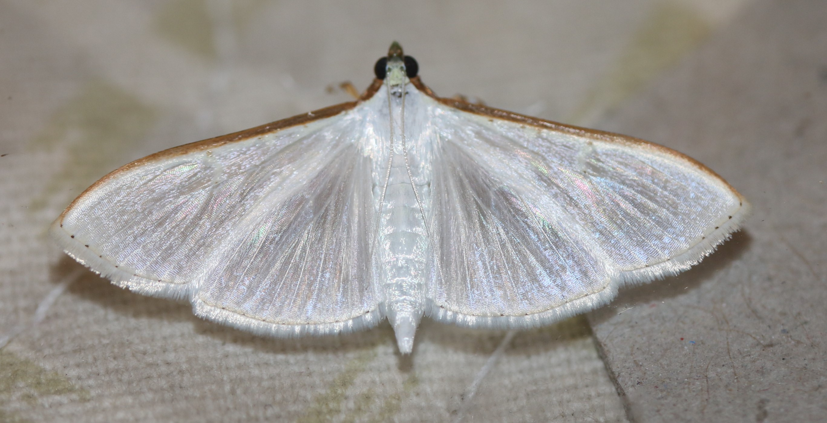 Palpita vitrealis. Jasmin Moth