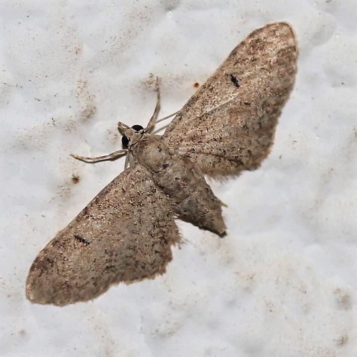 Eupithecia vulgate. Mottle Pug