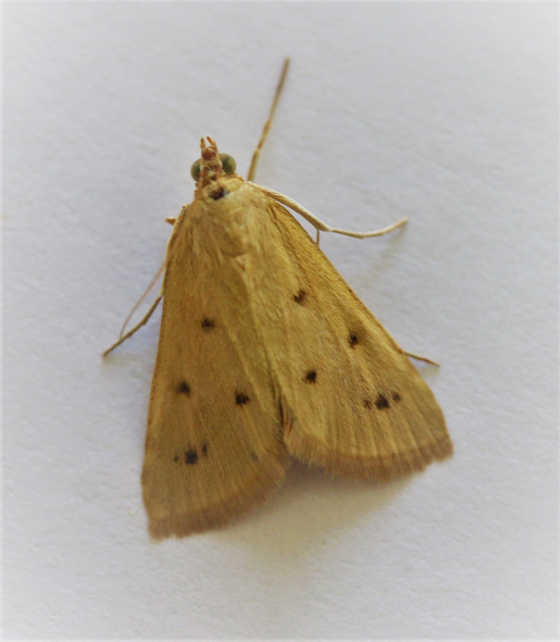 Setina irrorella. Dew Moth.