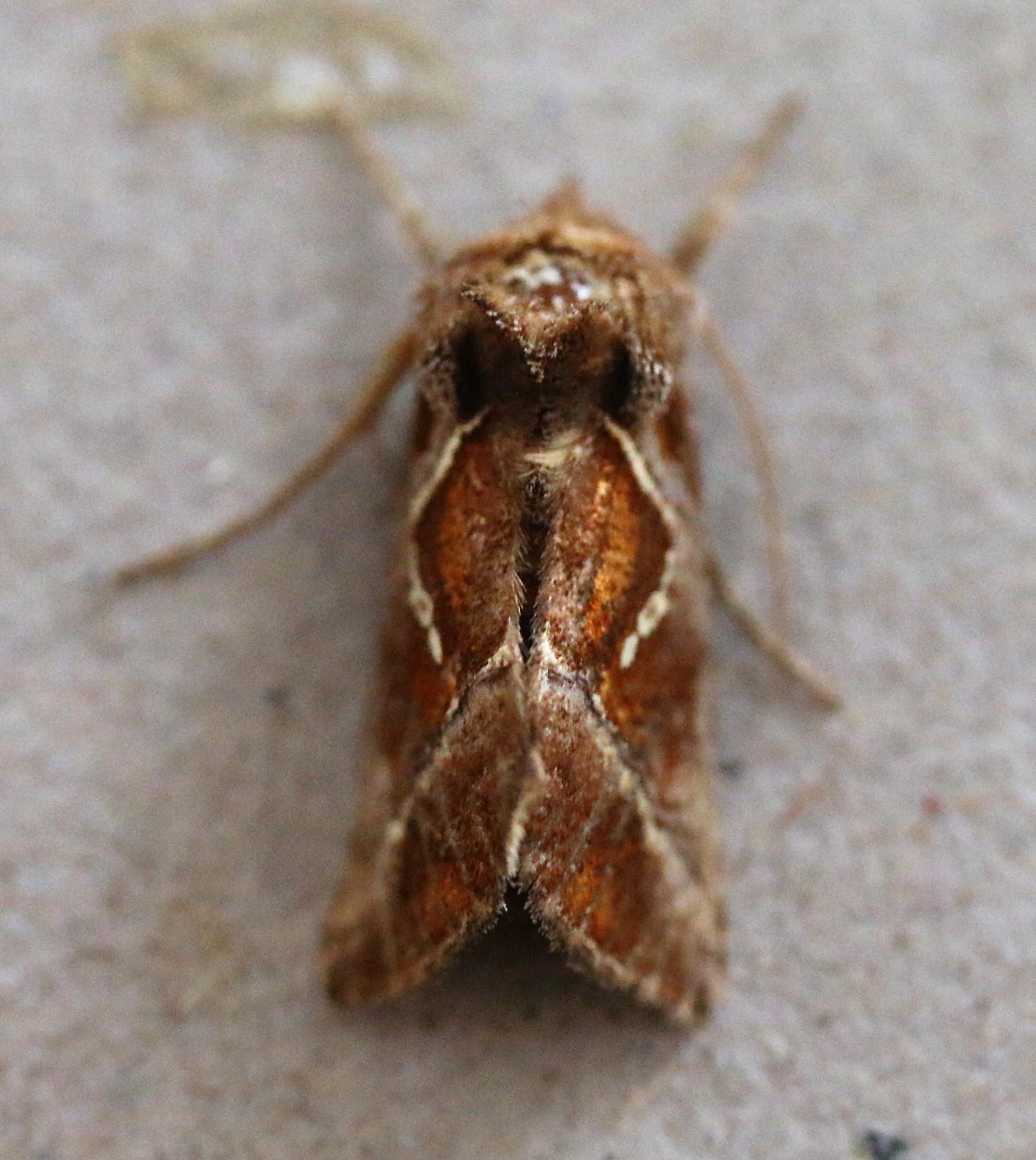 Thysanoplusia circumscripta.