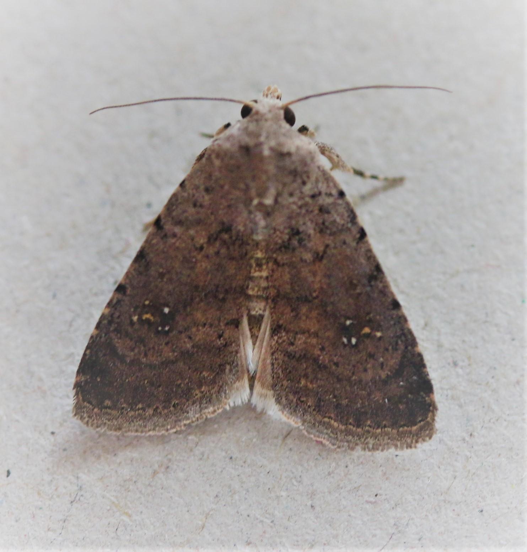 Caradrina flavirena. Lorimer's Rustic.