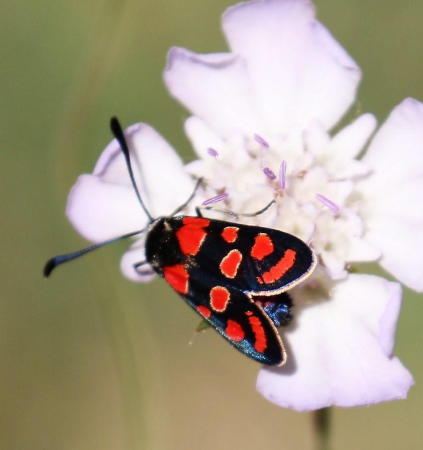 Zyganaena filipendulae. Six spot Burnet