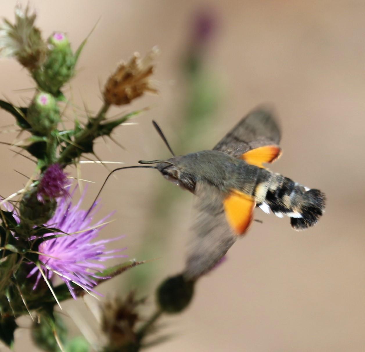Macroglossum stellatarum. Humbingbird Hawk Moth