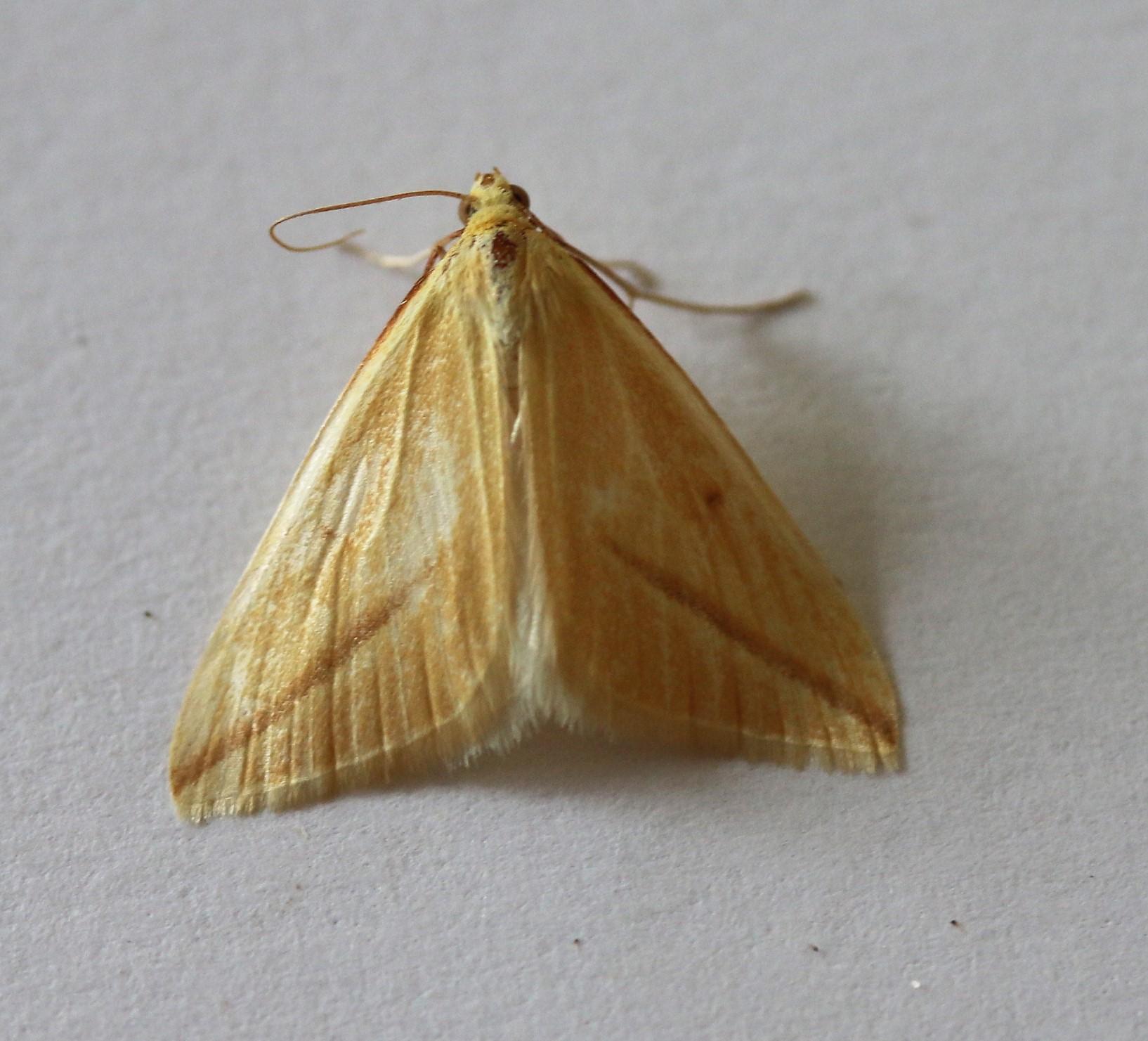Rhodometra sacraria. Vestal.