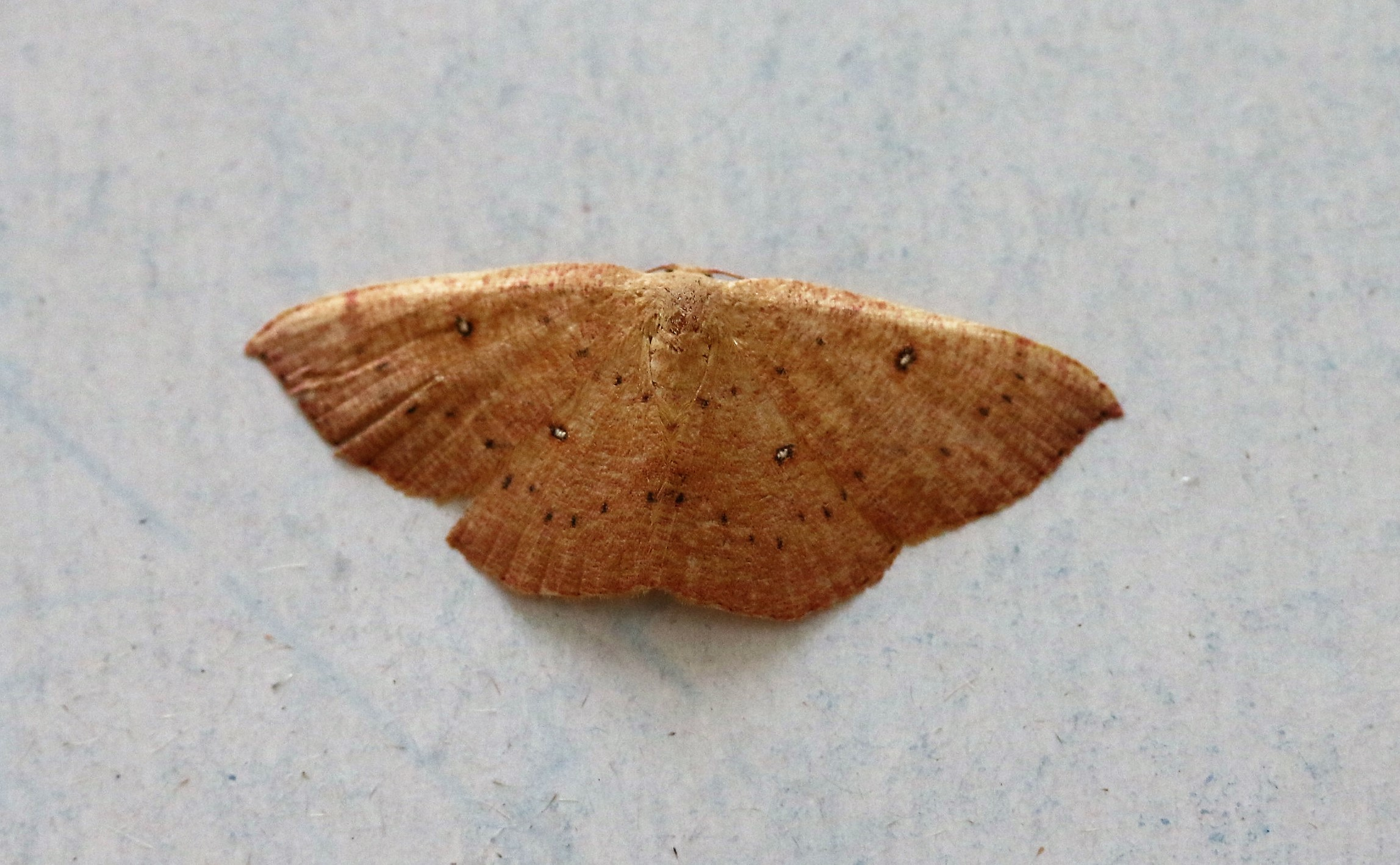 Cyclophora puppilaria. Blair's Mocha.