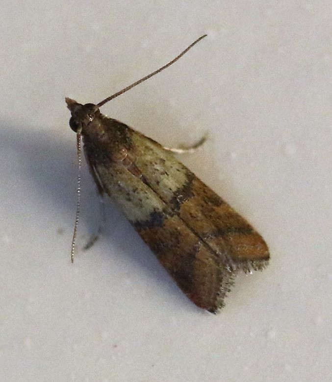 Plodia interpunctella. Indian Meal Moth.