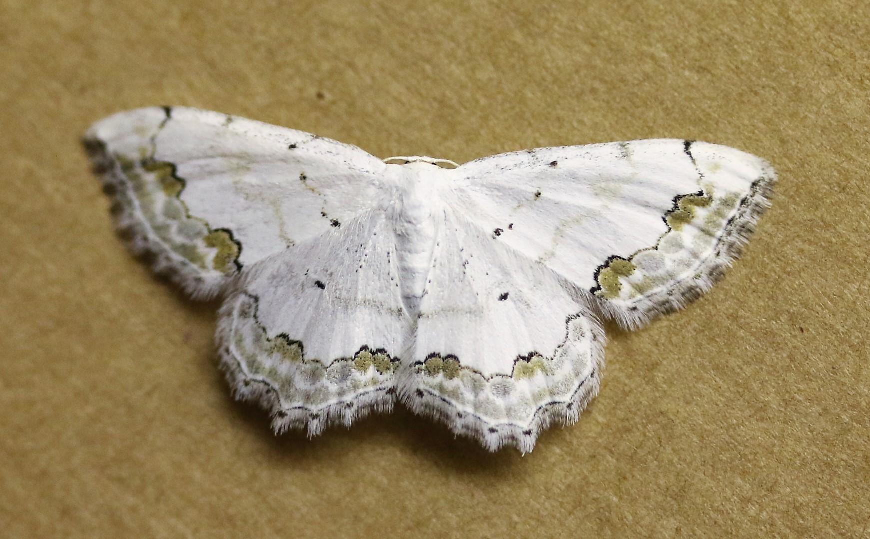 Scopula ornata. Lace Border.