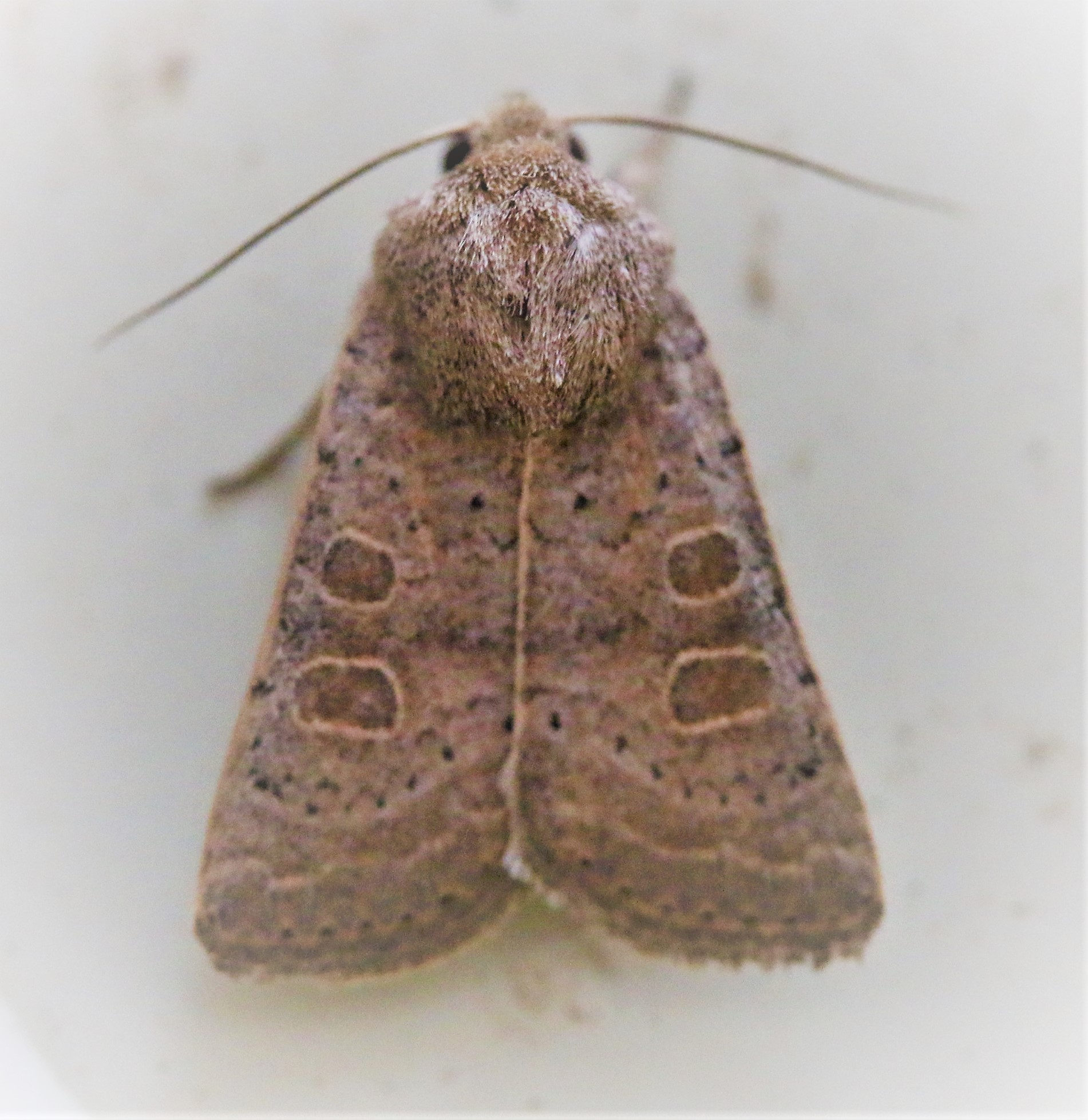 Hoplodrina octogenaria. Uncertain.
