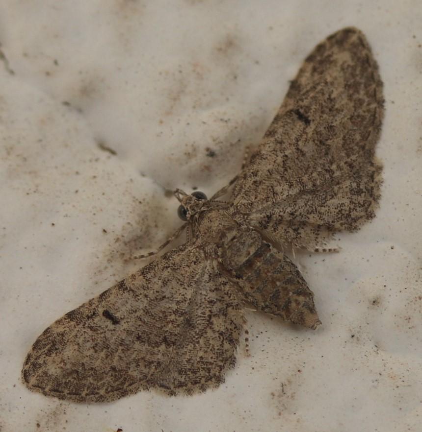 Eupithecia gemellata.