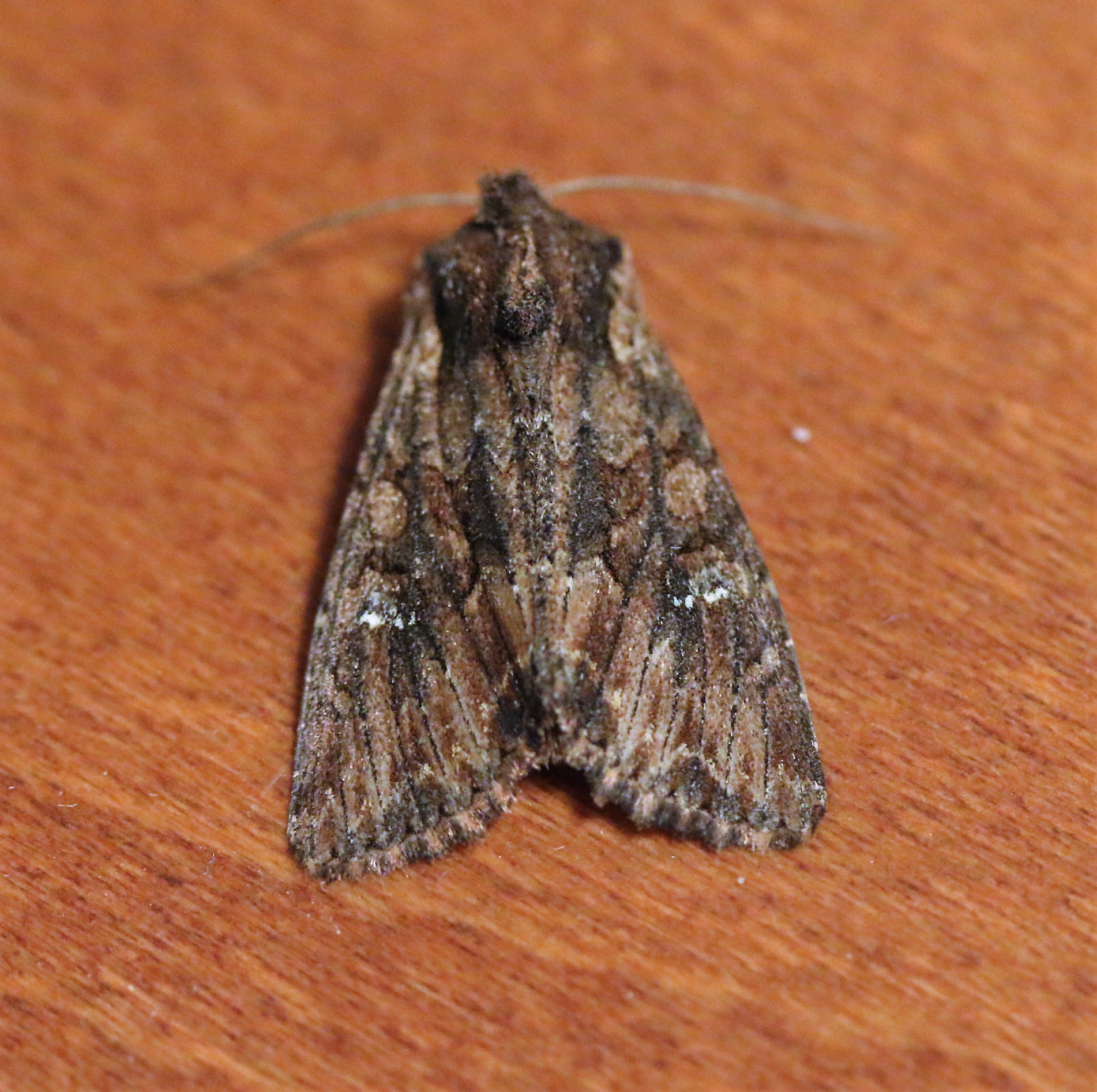Mamestra brassicae. Cabbage Moth.