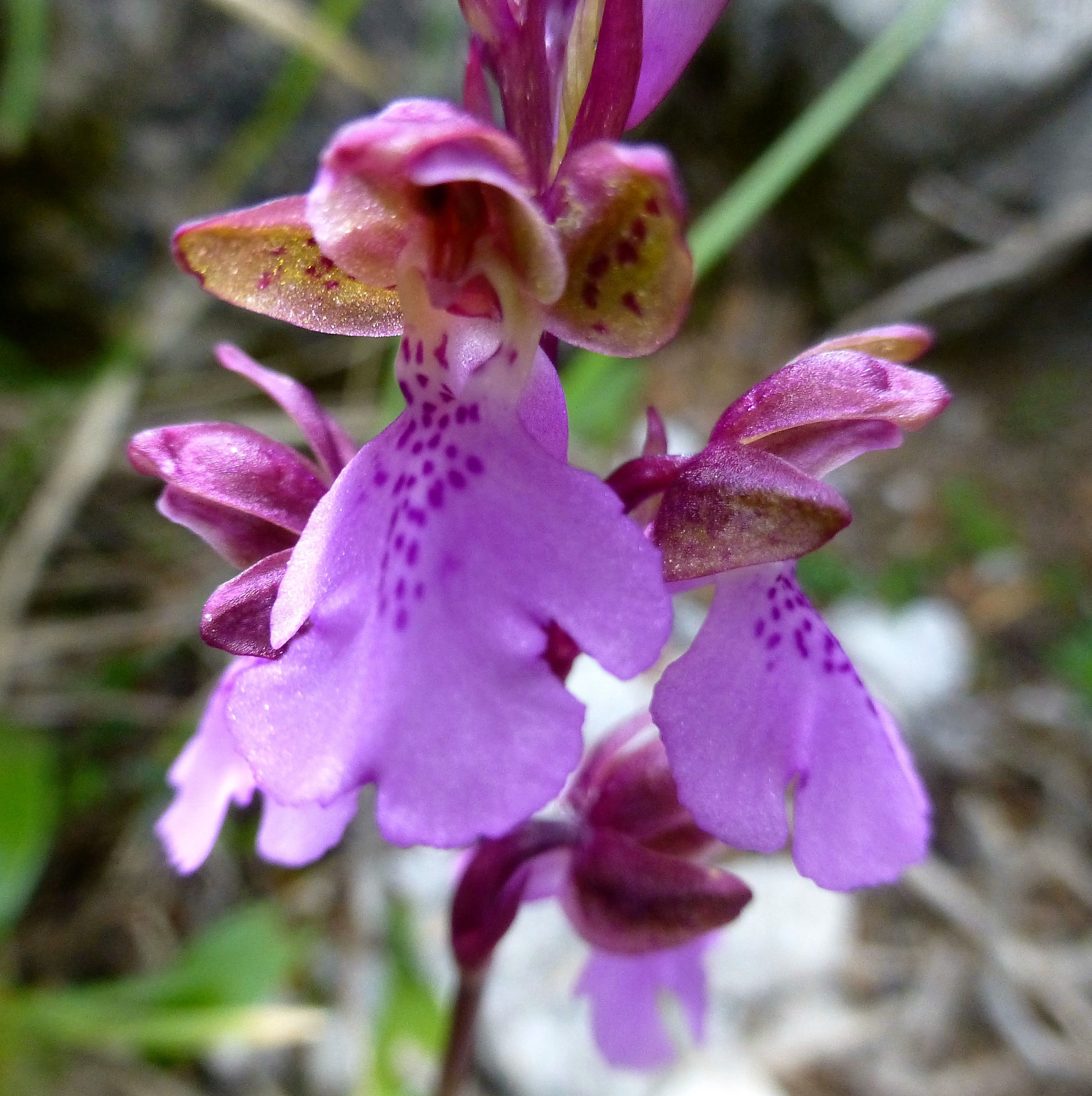 Orchis spitzelii.