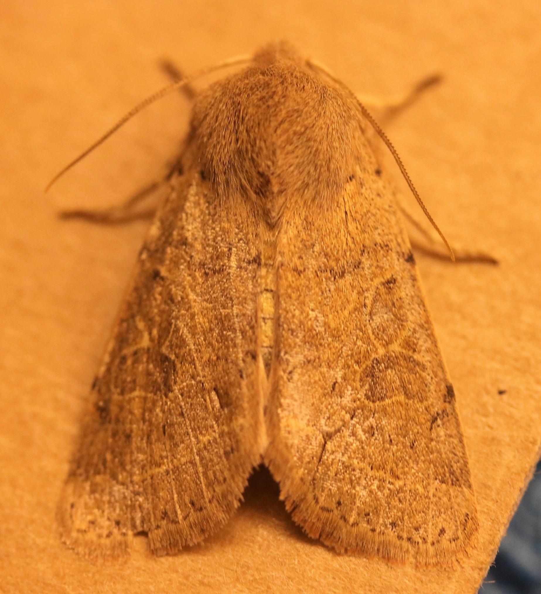 Nomophila noctuella. Rush Veneer. 63.052.