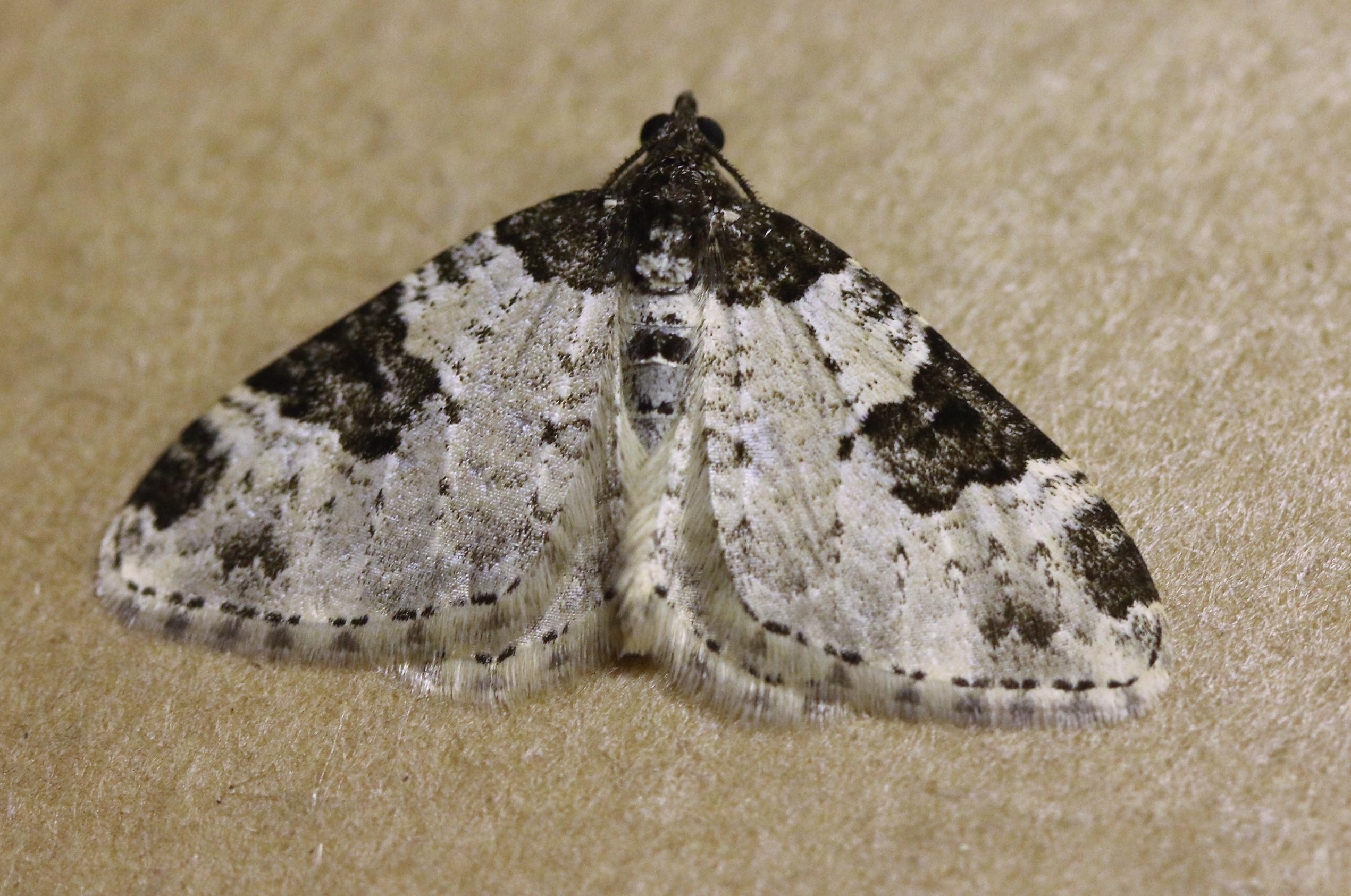 Plemyria rubiginata. Blue-bordered Carpet.
