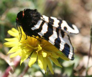 Arctia caja. Garden Tiger. 72.026