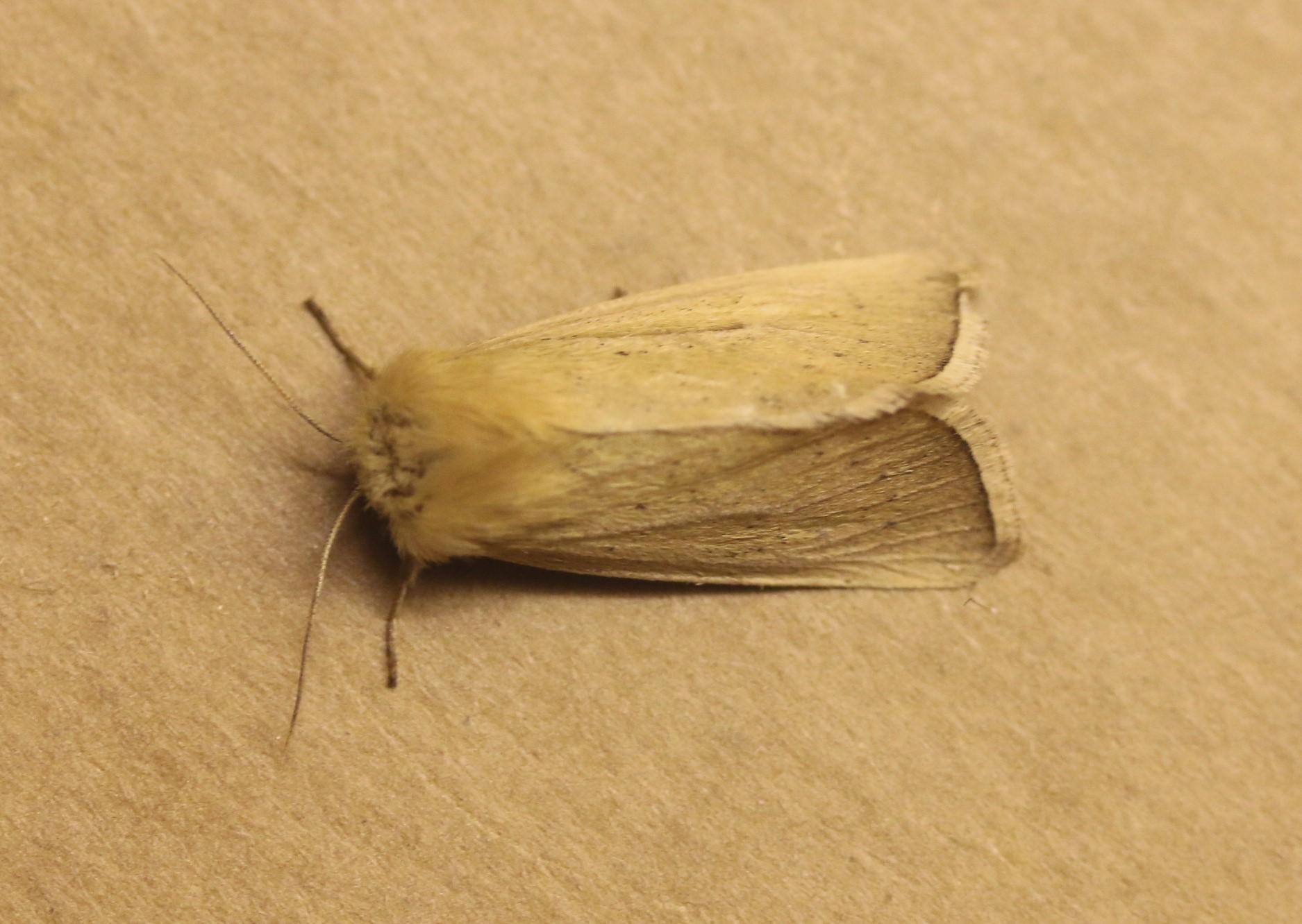 Mythimna pallens. Common Wainscot. 73.291.