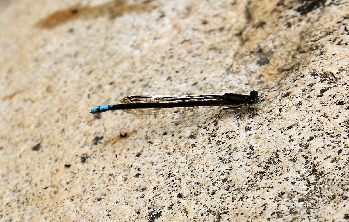Elattoneura frenulata. Sooty Threadtail.