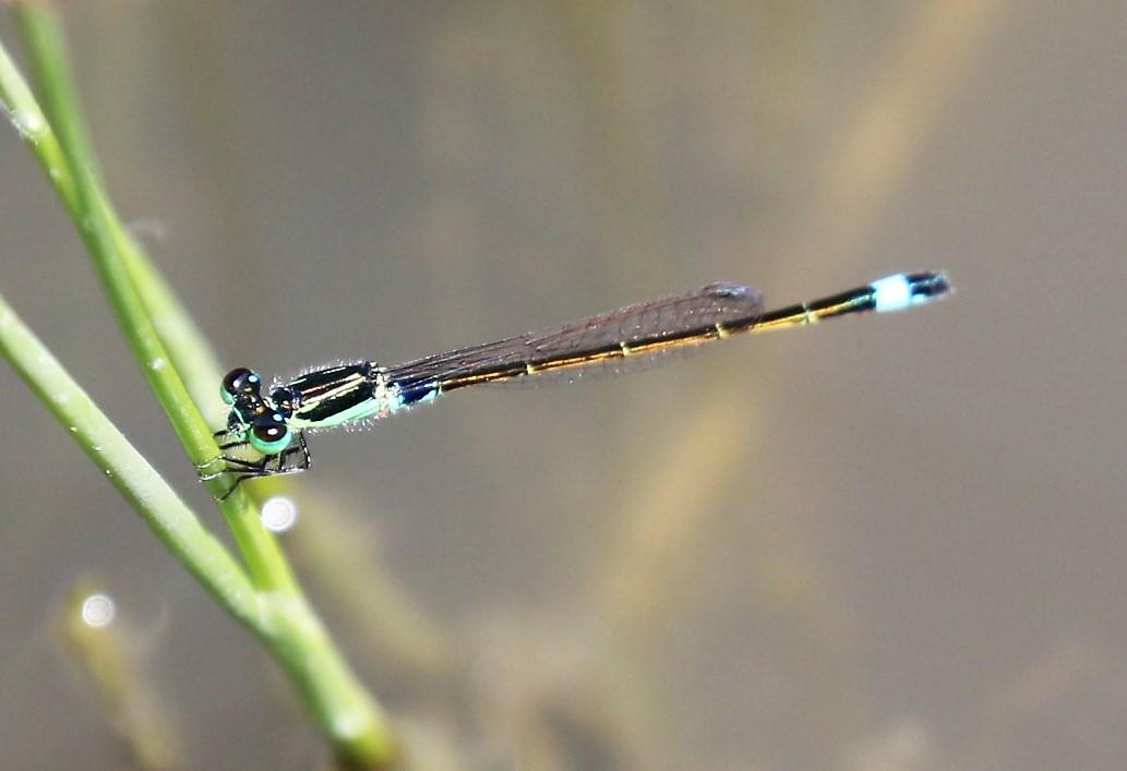 Ischnura senegalensis. Tropical Bluetail.