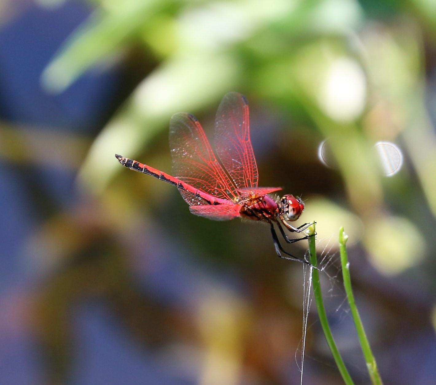 Trithemis arteriosa. Red-veined Dropwing.