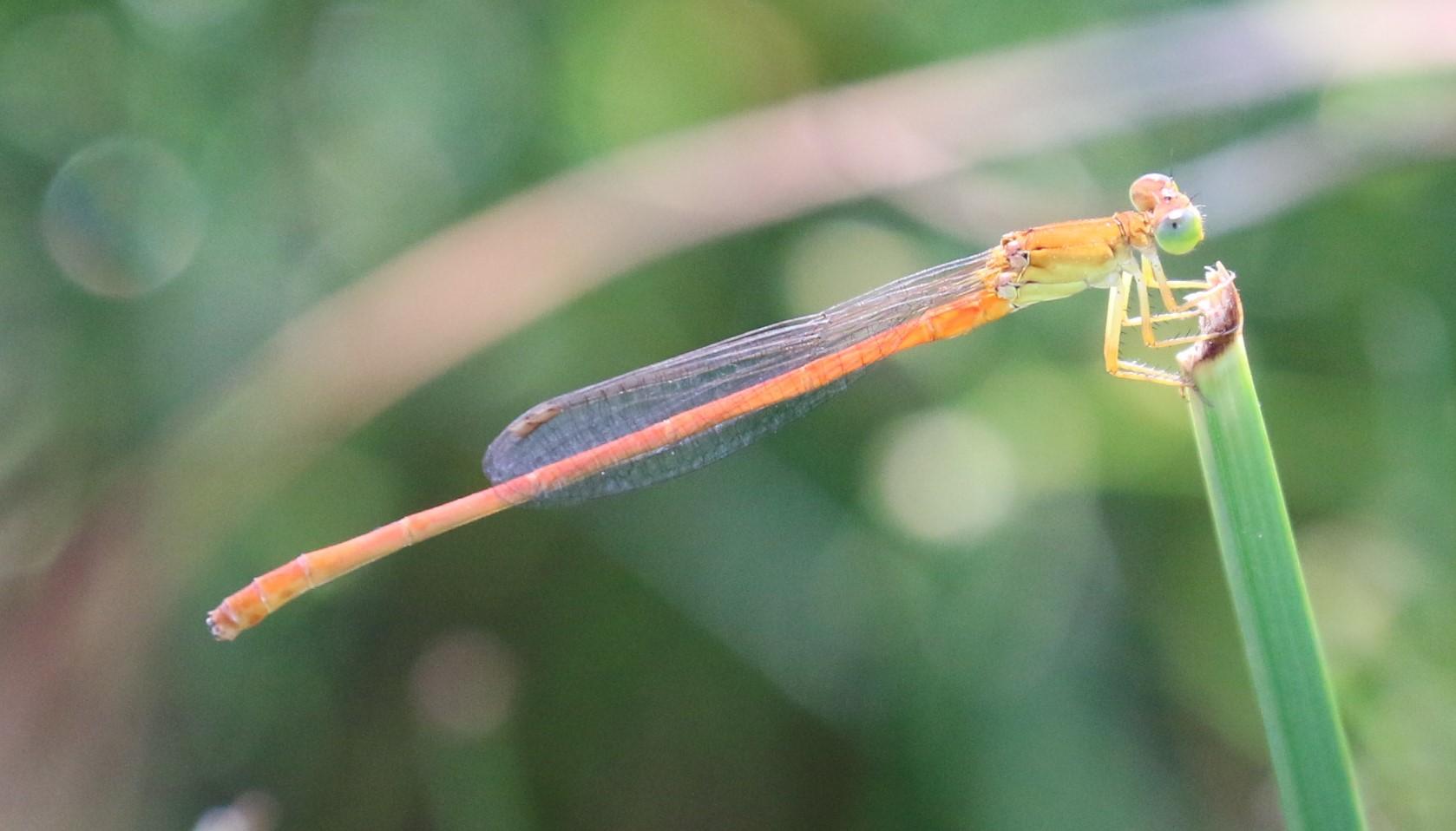 Ceriagrion glabrum. Common Citril.