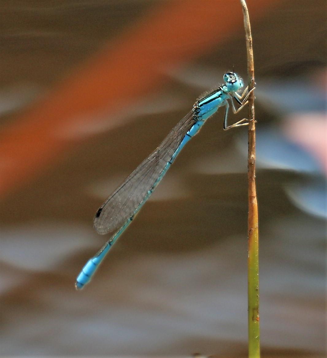 Africallagma glaucum. Swamp Bluet.