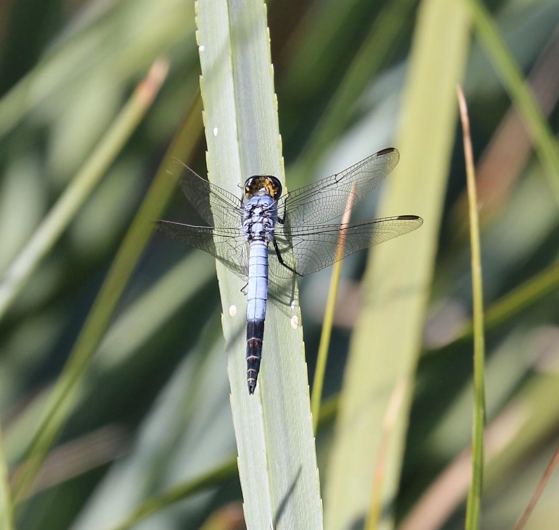 Nesciothemis farinosa. Eastern Blacktail.