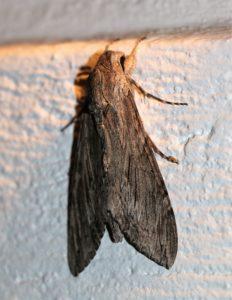 Agrius convolvuli. Convolvulus Hawk-moth.