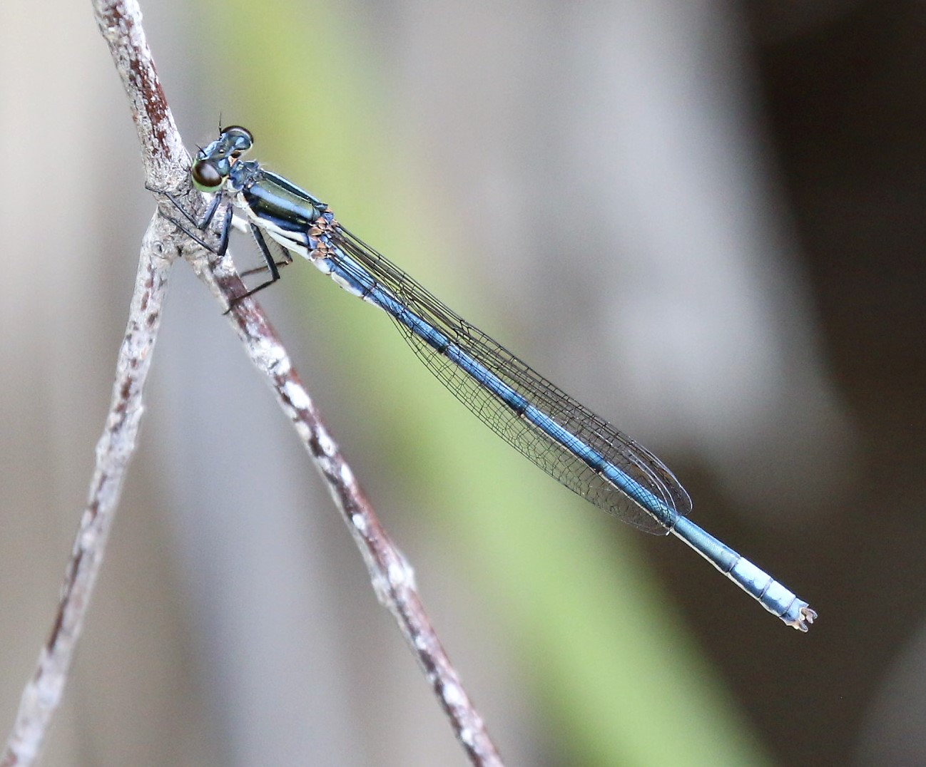 Pseudagrion draconis. Mountain Sprite.