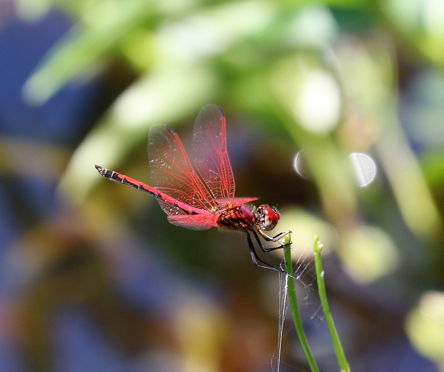 Trithemis arteriosa. Red-veined Dropwing.