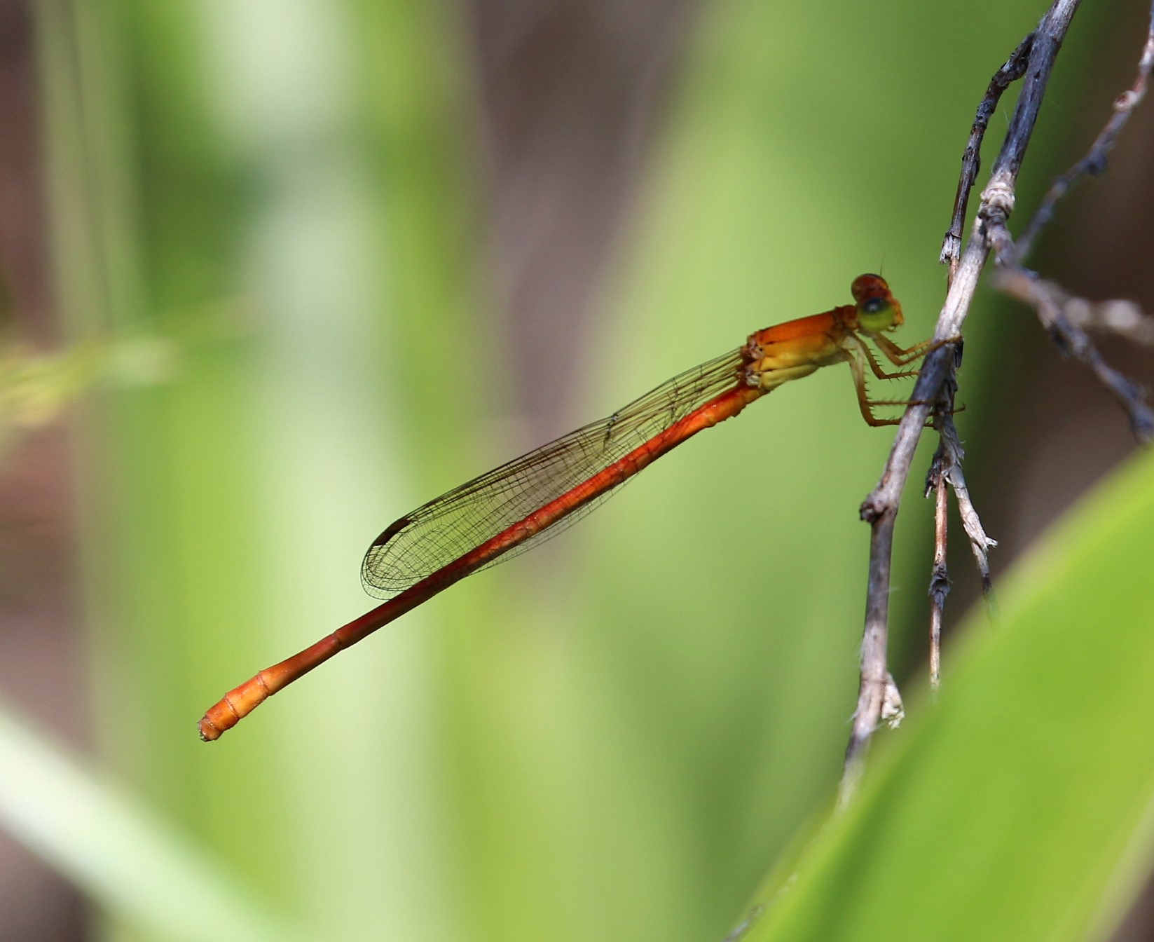 Ceriagrion glabrum. Common Citril.