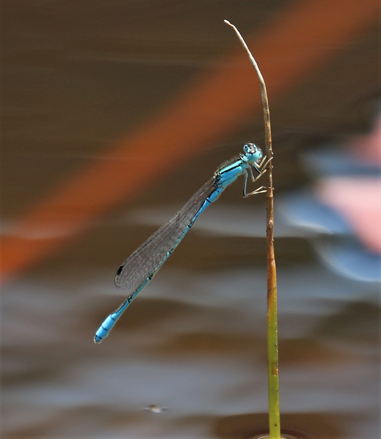 Africallagma glaucum. Swamp Bluet.