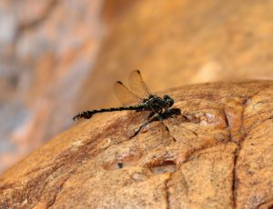 Paragomphus cognatus. Rock Hooktail.