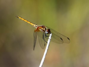 Trithemis pluvialis. Russet Dropwing.