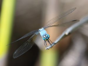 Trithemis stictica. Jaunty Dropwing.