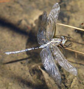 Orthetrum trinacria. Long Skimmer.