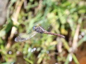 Orthetrum julia capicola. Cape Skimmer.