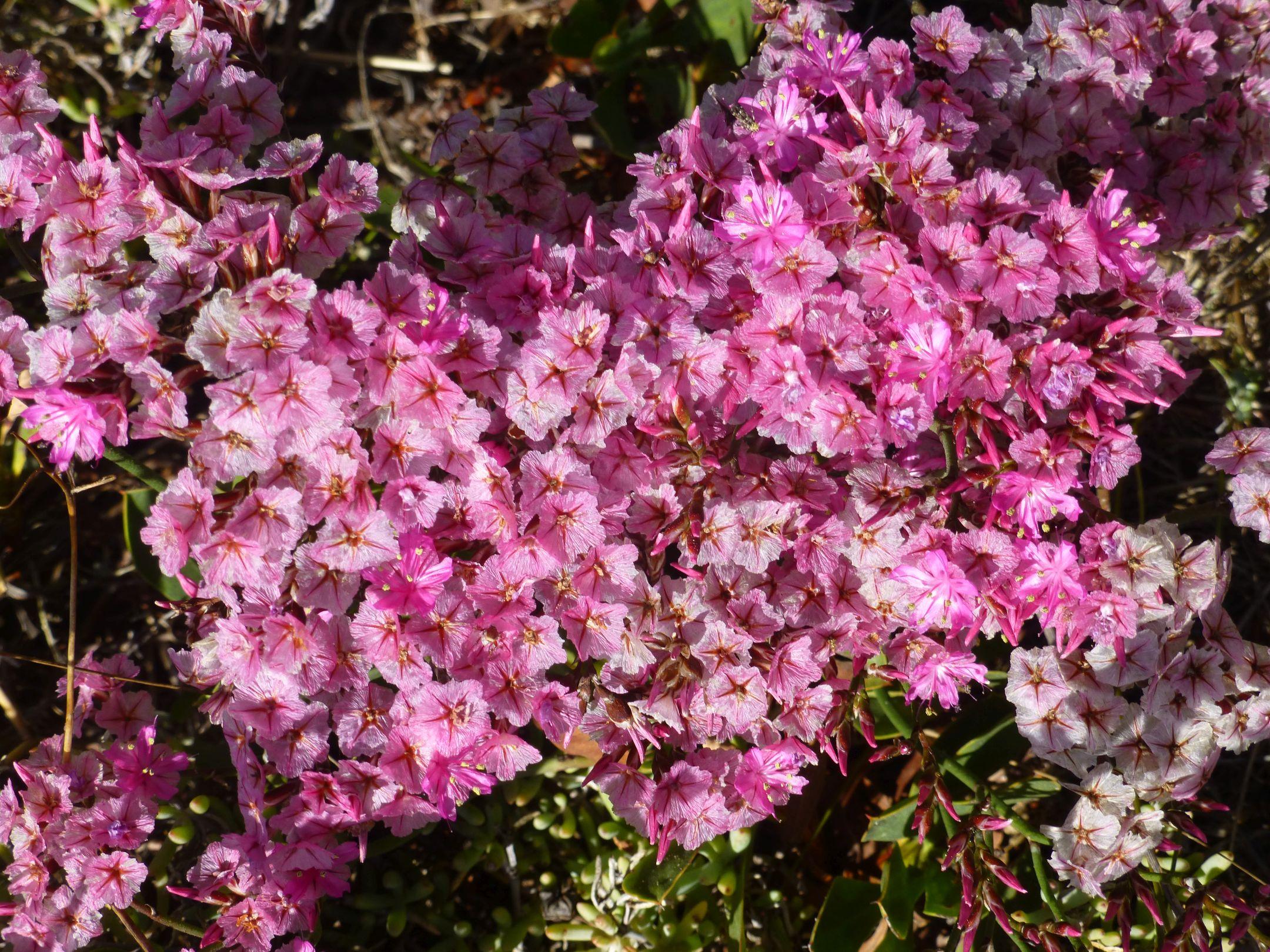 Limonium purpuratum.