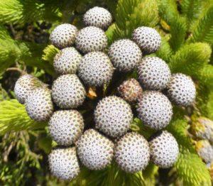 Lachnaea densiflora.