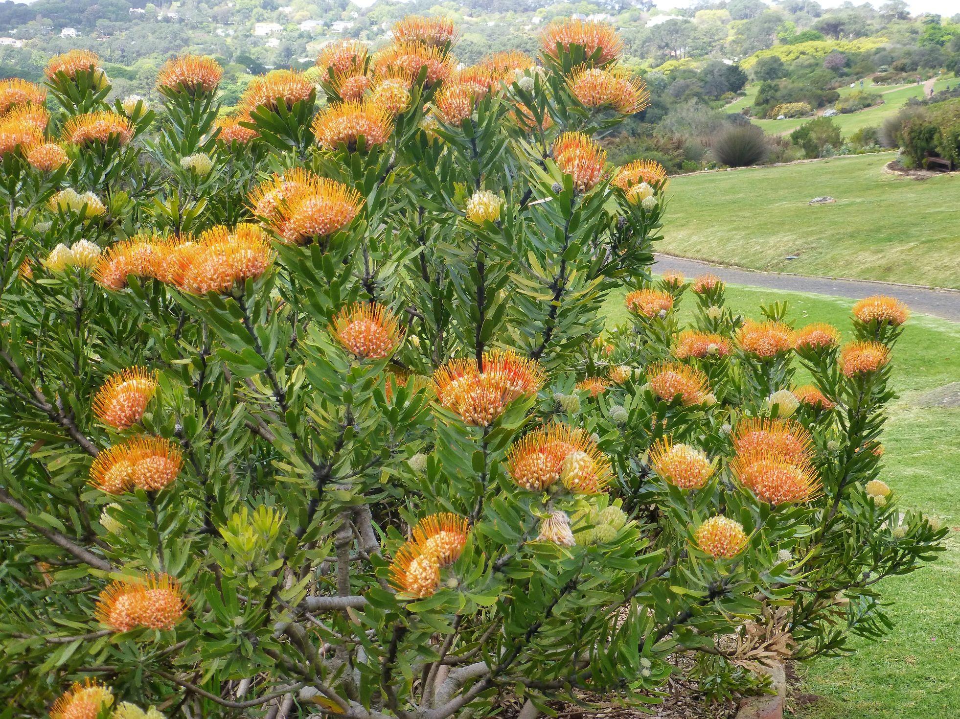 Leucospermum erubescans.