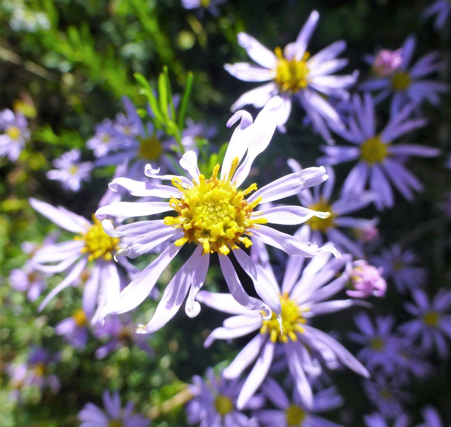 Felicia hyssopifolia.