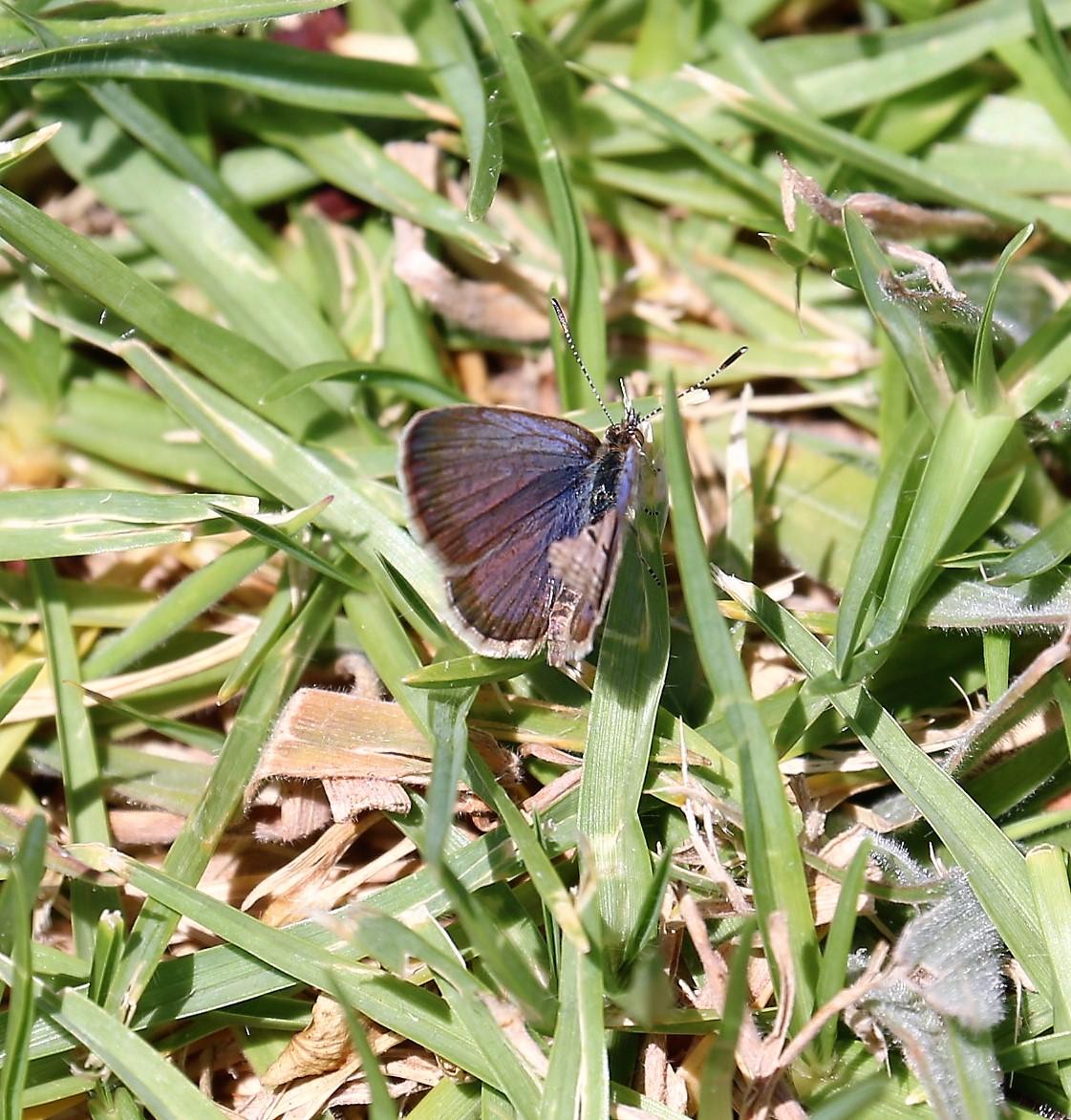 Azanus ubaldus. Velvet-spotted Blue.