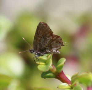 Cacyreus marshalli. Geranium Bronze.