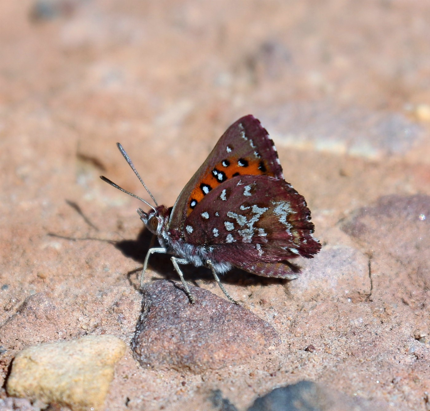 Metisella malgacha. Grassveld Sylph.