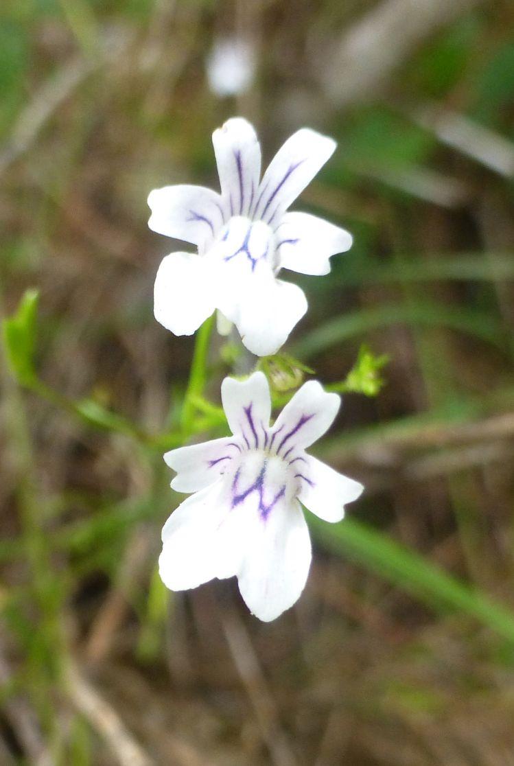 Nemesia diffusa.