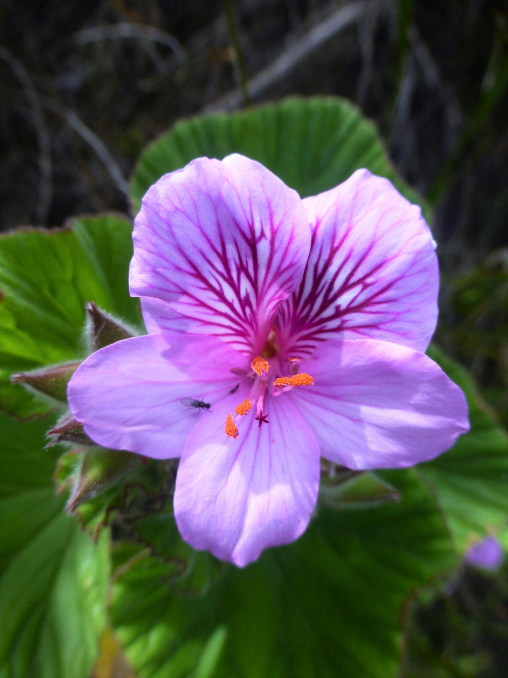 Pelargonium cucullatum.