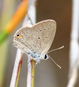 Eicochrysops messapus. Cupreous Blue.