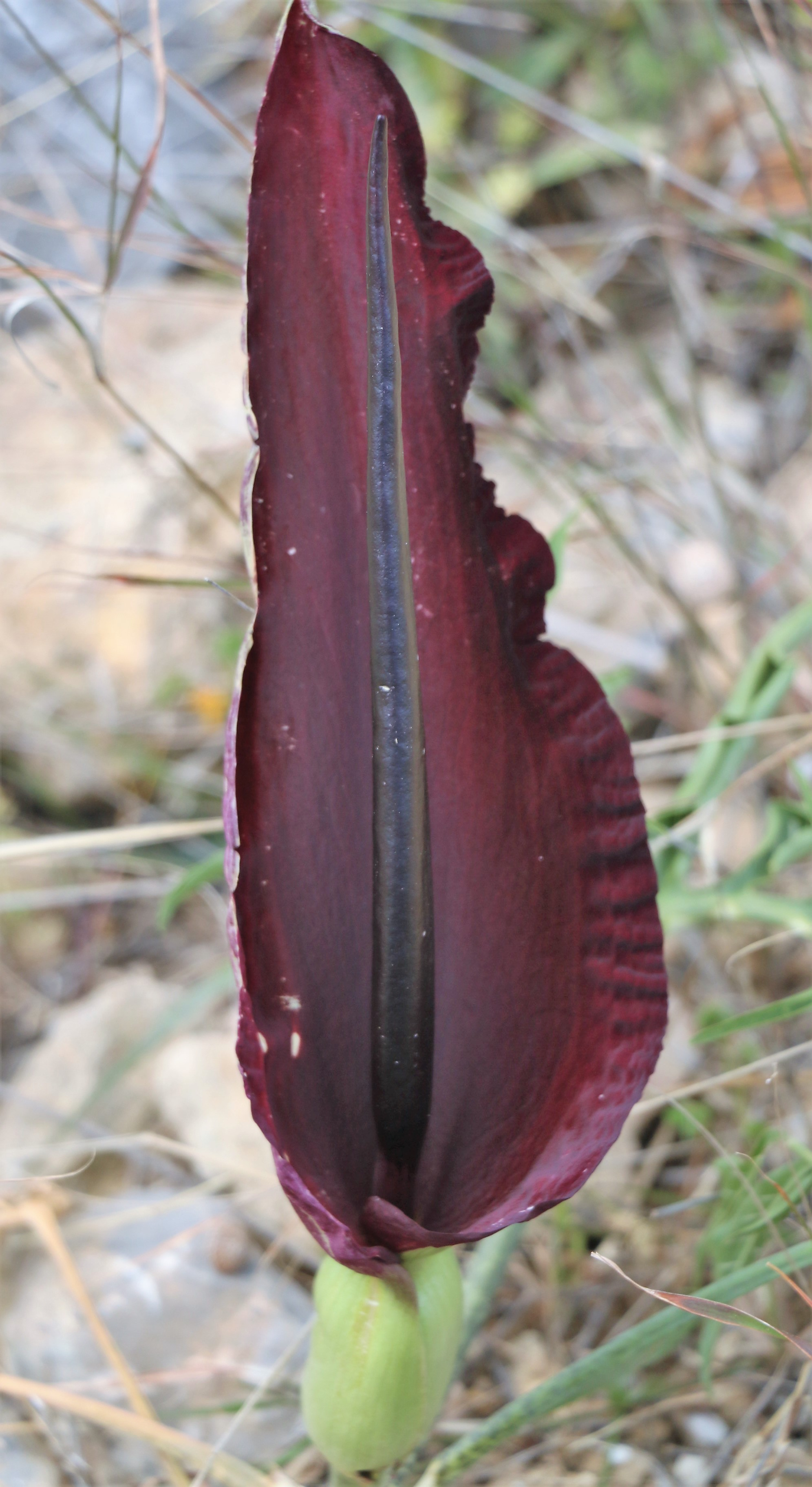 Dracunculus vulgaris. Common Dragon Arum.