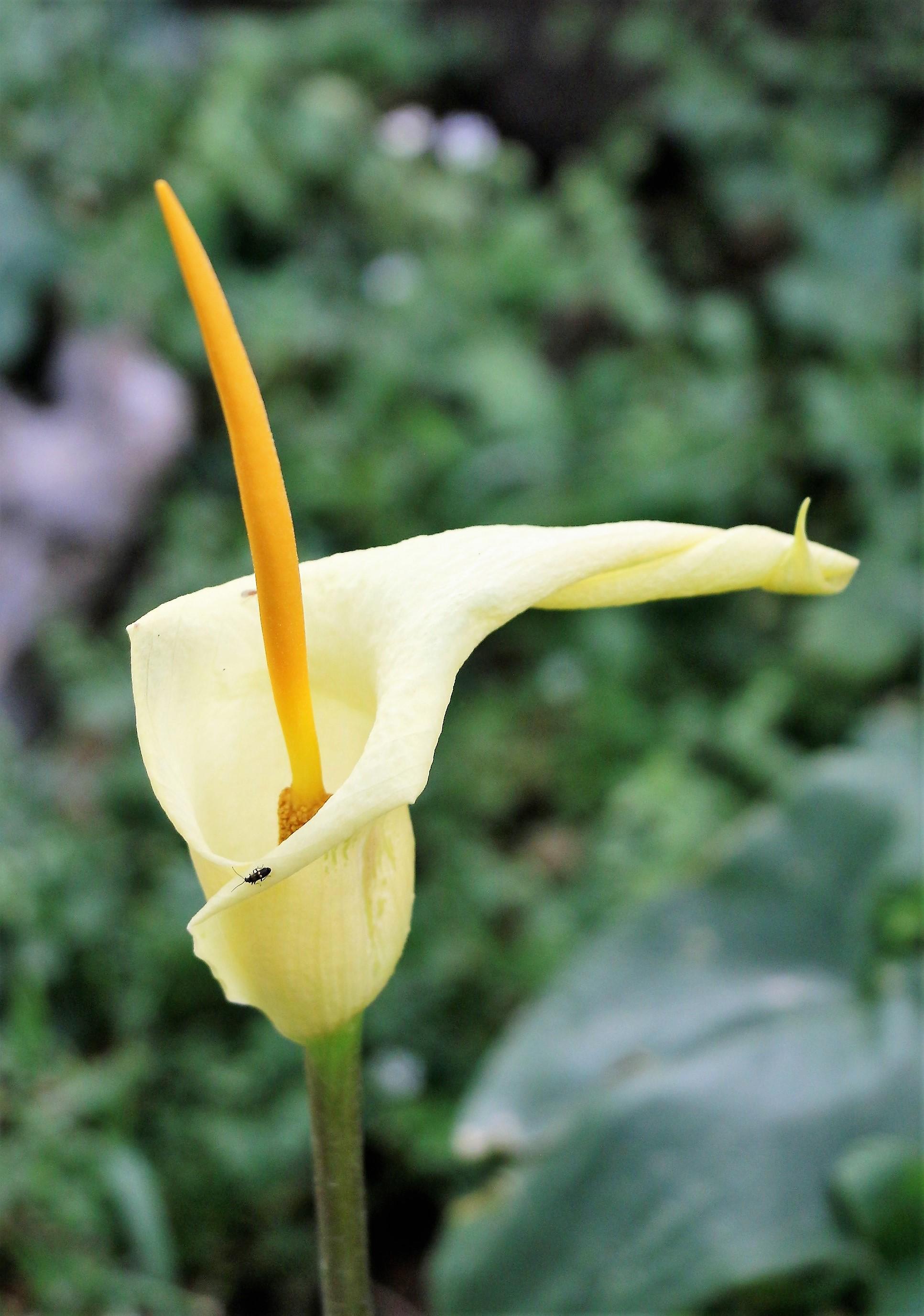 Arum creticum. Cretan Arum.