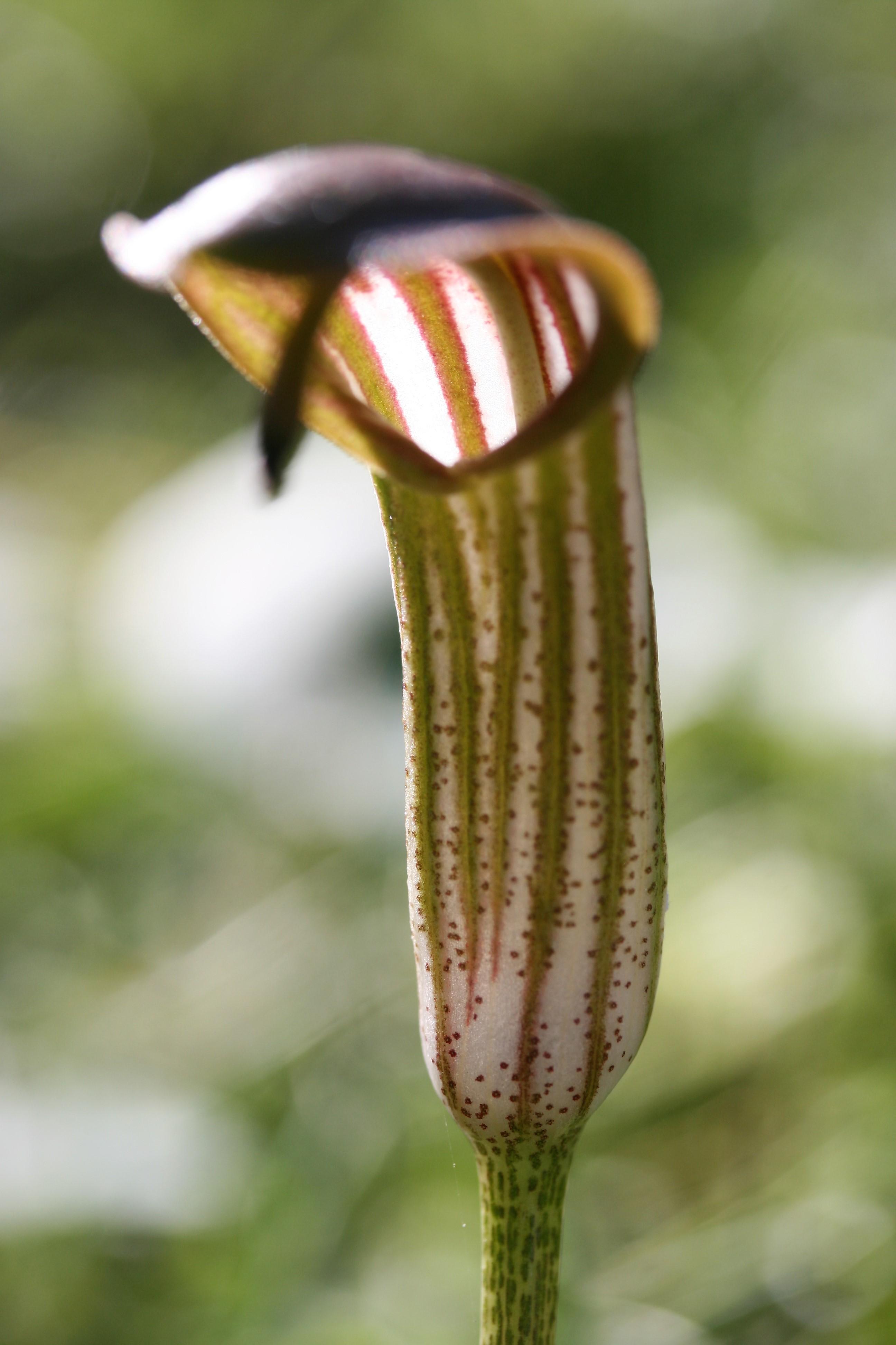 Arisarum vulgare. Friar's Cowl.